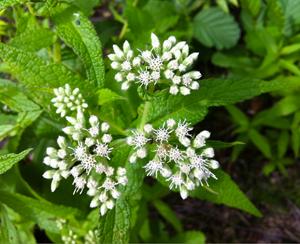 eupatorium-perfoliatum
